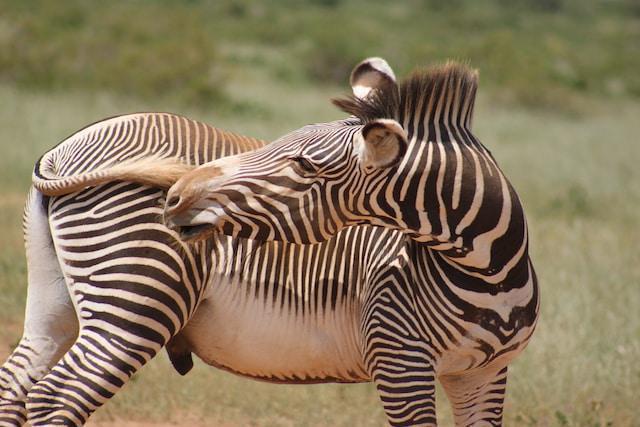 Gracys Zebra Samburu5