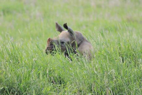 baby rhino lewa3