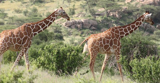 reticulated giraffe3