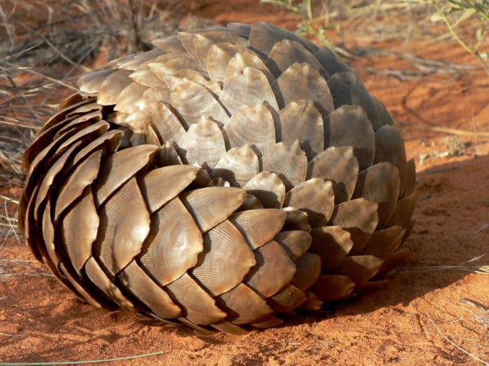 cape pangolin curled up picture credit and copyright african pangolin working group