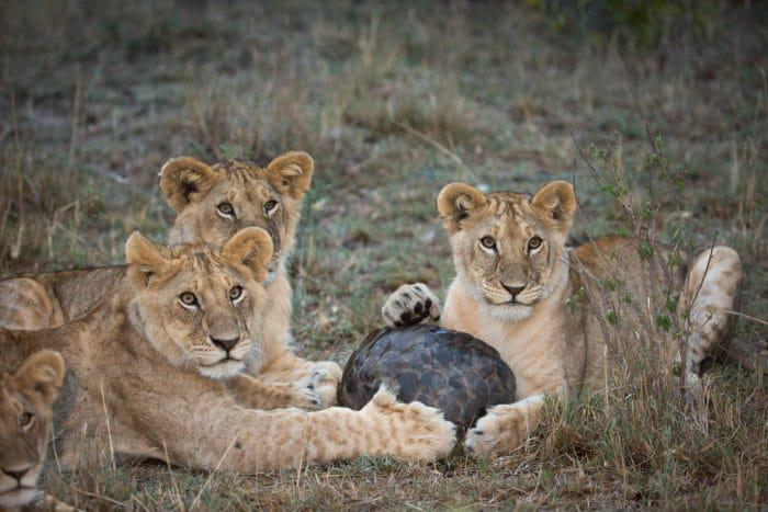 A group of lions trying to pry open a pangolin in Kenyas Masai Mara Pic and copyright by Holly Cheese