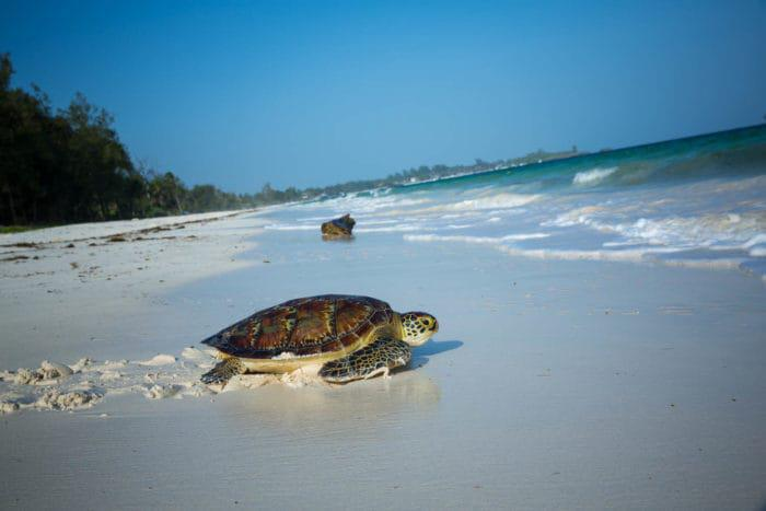 KENYA, Watamu: In a photograph taken by Make It Kenya 11 Decmeber 2015, a Green turtle makes it's way back to the ocean from a deserted stretch of coastline after being released by a team from the Local Ocean Trust (LOT). The LOT and Watamu Turtle Watch work to protect both the future of sea turtles and the wider fragile marine environment along Kenya's Watamu stretch of coastline through nest-monitoring and protection of turtle nesting sites, practising a catch and release programme working closely with local fisherman who inadvertently catch sea turtles in the nets, and conservation education and awareness outreach with local communities. MAKE IT KENYA PHOTO / STUART PRICE.