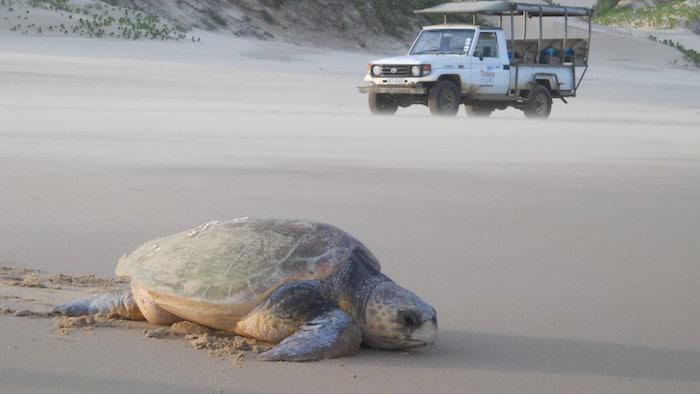 turtle-tracking-at-Thonga-pic-Donna-Scherer