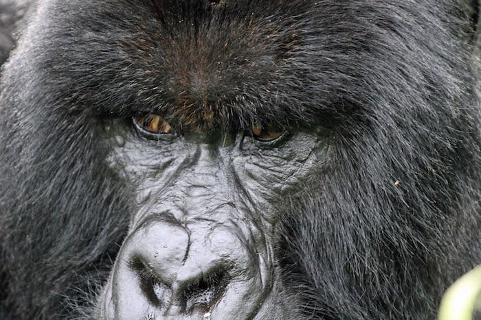 gorilla-closeup