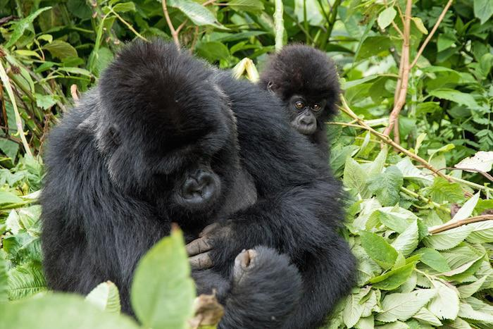 peeking-baby-gorilla