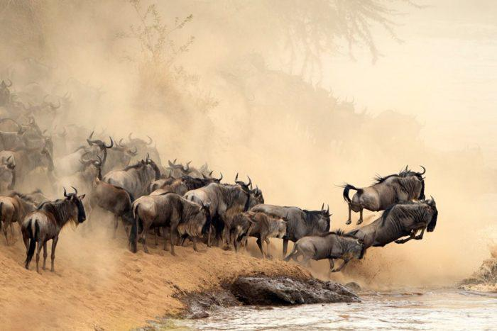 Masai Mara Migration photo credit Tatra Photography new