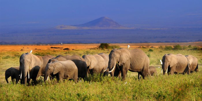 Amboseli elephants with Mount Kilimanjaro