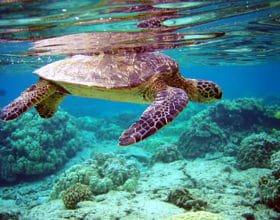 Endangered green turtle - Mnemba Island, Zanzibar