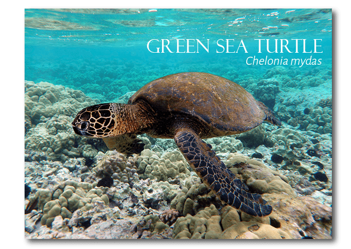 The endangered green sea turtle