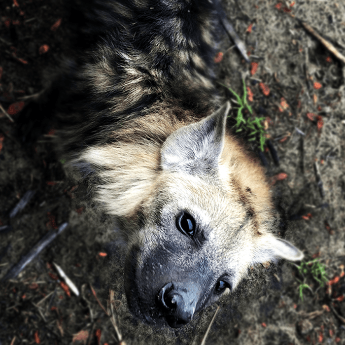 An incurably curious hyena cub checking me out from right beside our game-viewing vehicle!