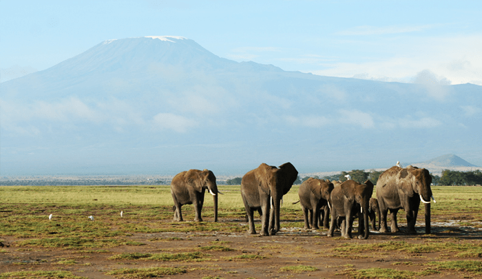Elephants in front of Kilimanjaro in Amboseli National Park