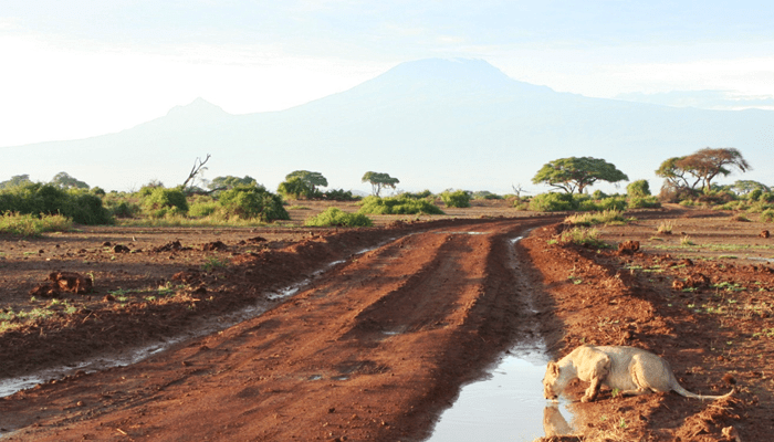 Lioness drinking from rain puddle in Amboseli with Kilimanjaro in the distance