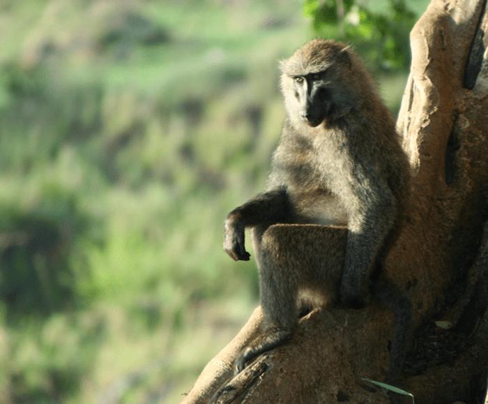 baboon_masai mara_kenya