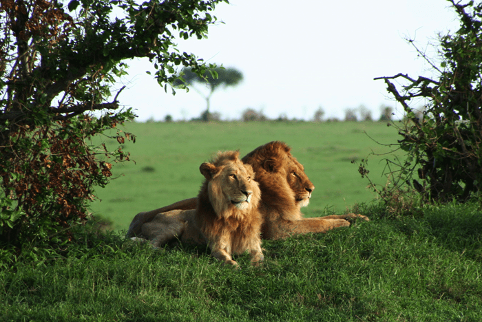 brothers_male lions_masai mara_kenya