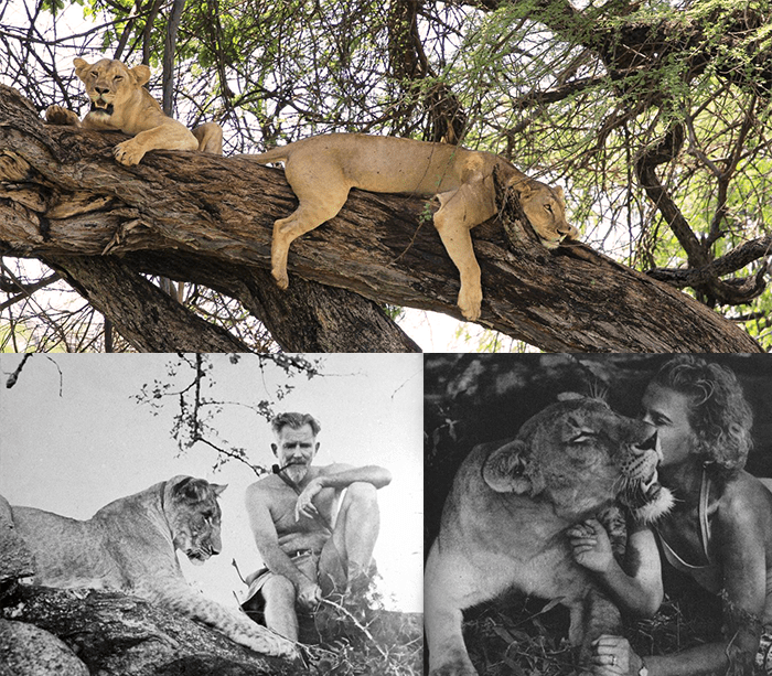 Tree-climbing lions in Meru National Park; George and Joy Adamson with Elsa the lion