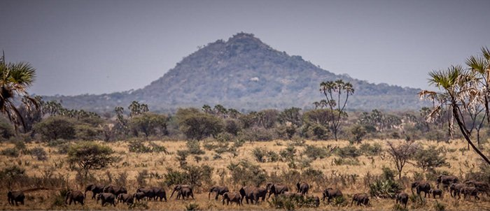View of Elsa's Kopje with large herd of elephants in Meru National Park, Kenya