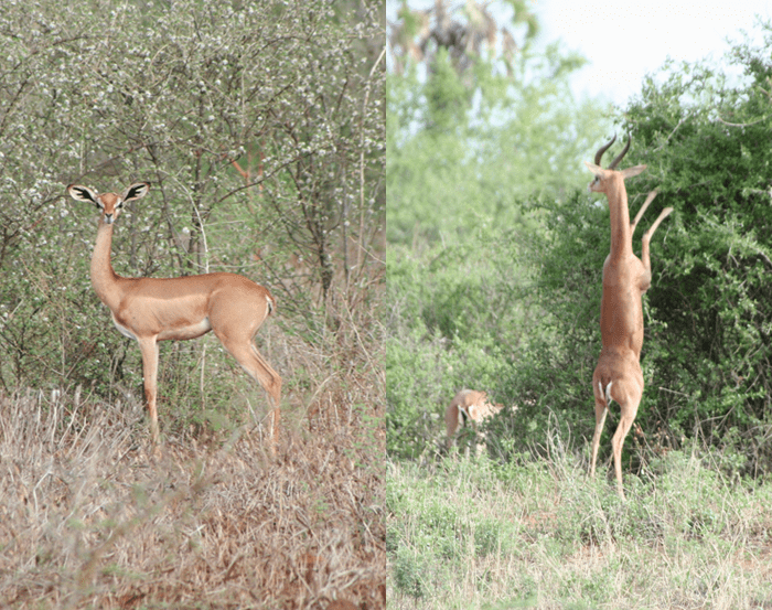 Female gerenuk on the left; horned male gerenuk on the right, standing on hind legs to eat the leaves higher on the tree. Kenya
