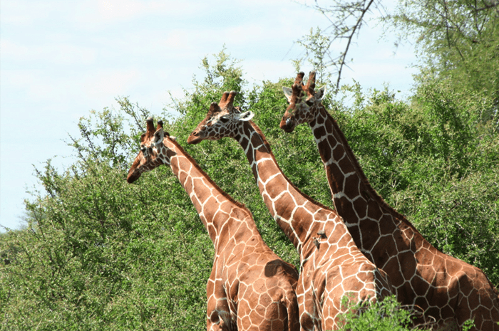 Three reticulated giraffes in Meru National Park in Kenya