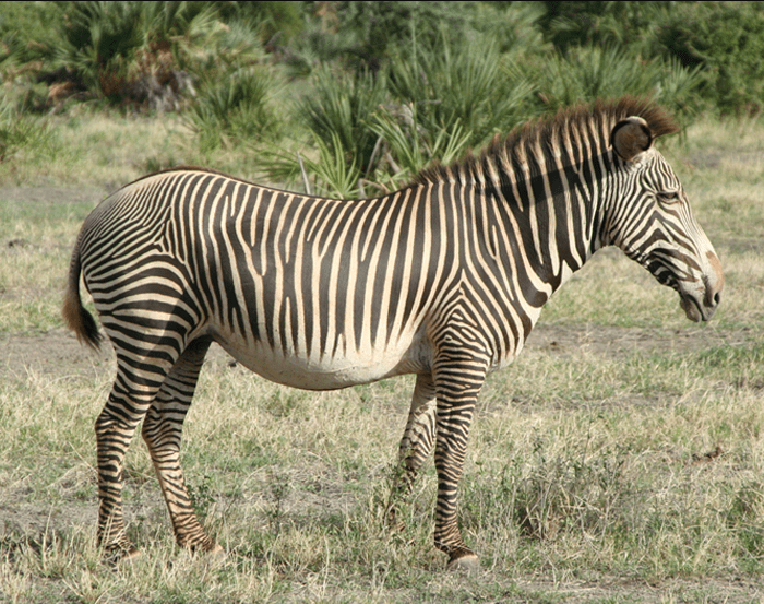 Endangered Grevy's zebra in Meru National Park, Kenya