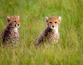 Cheetah cubs born during the Green Season near Kwando Kwara Camp in Botswana