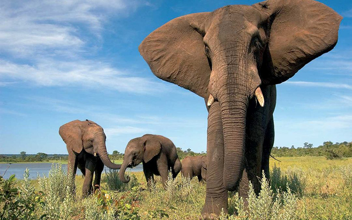 Elephants at The Elephant Camp near Victoria Falls in Zimbabwe