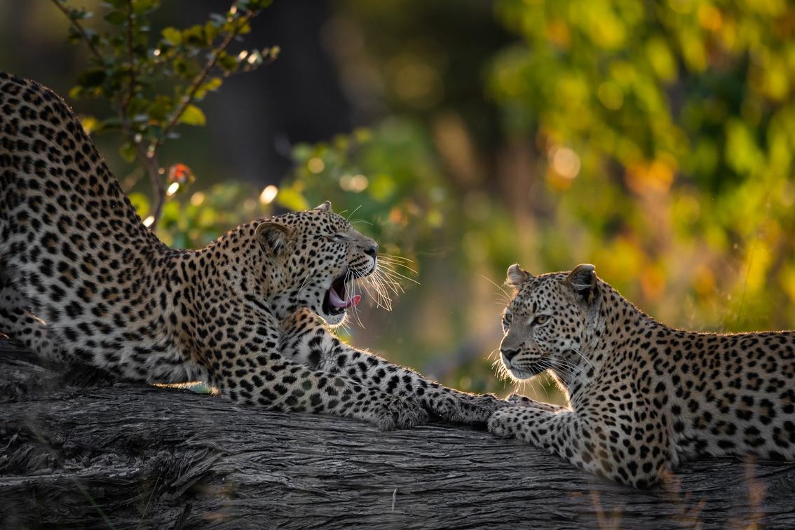 Two leopards photographed on a sunset game drive at Tuludi Camp in Botswana's Khwai Private Reserve - African Safaris